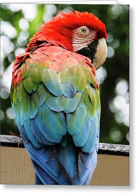 Colombia, Minca Red And Green Macaw Greeting Card by Matt Freedman