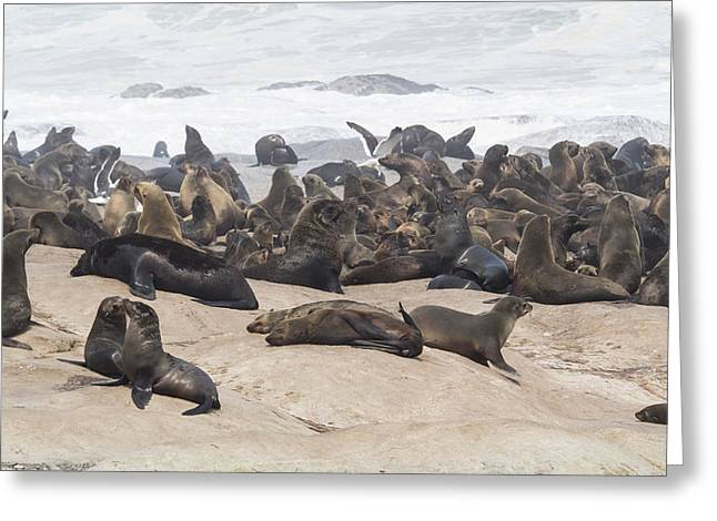 Colonies Of Seal On The Coast, Mowe Greeting Card