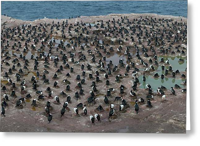Colony Of Imperial Shags Phalacrocorax Greeting Card by Panoramic Images