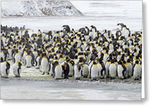 Colony Of King Penguins Aptenodytes Greeting Card by Panoramic Images