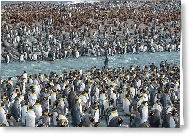 Colony Of King Penguins, Aptenodytes Greeting Card