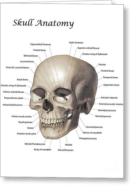 Color Illustration Of A Human Skull Greeting Card