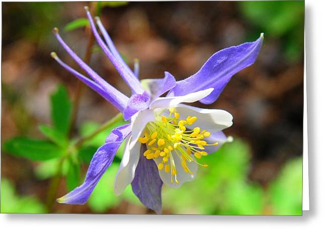 Colorado Blue Columbine Flower Greeting Card