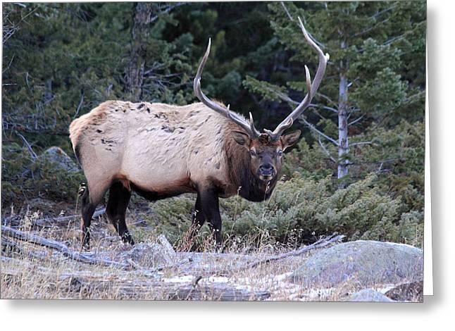 Colorado Bull Elk Greeting Card