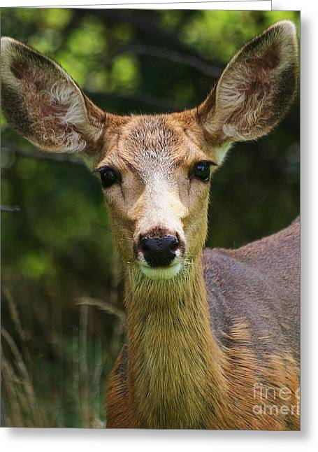 Colorado Deer Greeting Card by Ronnie Glover
