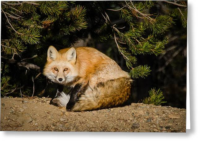 Colorado Red Fox Greeting Card