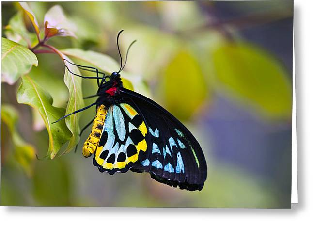 colorful butterfly Ornithoptera priamus Greeting Card