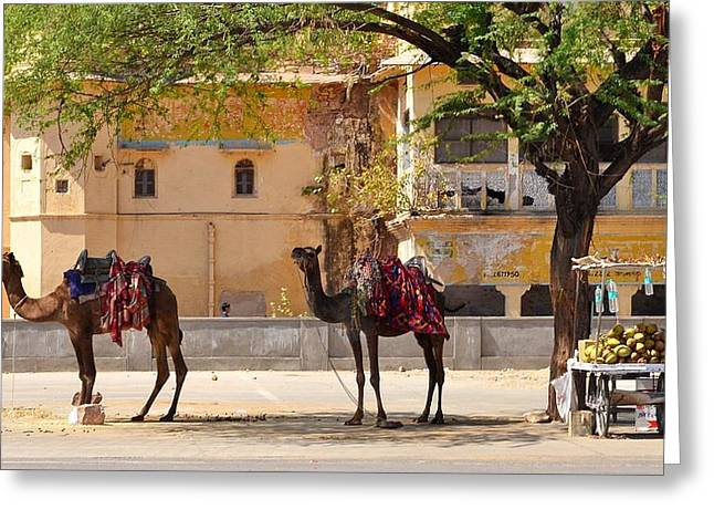 Colorful Camels - Jaipur India Greeting Card by Kim Bemis