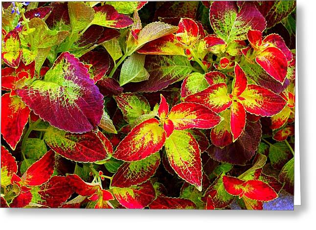 'colorful Coleus' Greeting Card