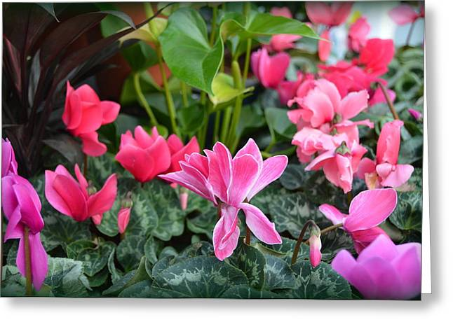 Colorful Cyclamen Greeting Card by Carla Parris