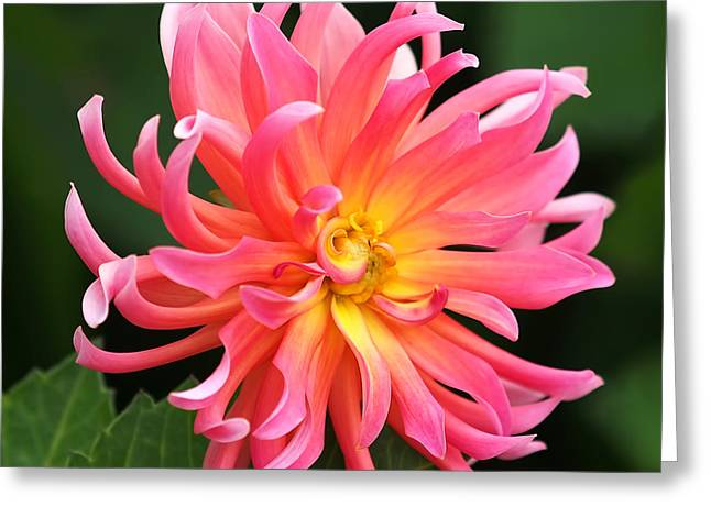 Colorful Dahlia Greeting Card by Rona Black