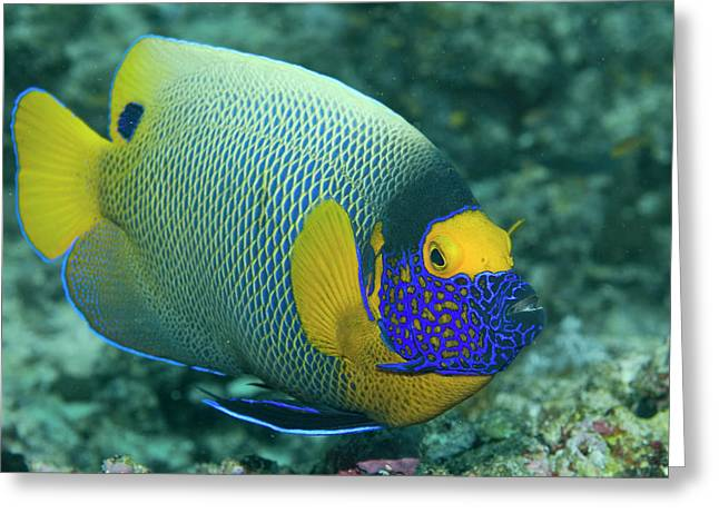 Colorful Emperor Angelfish (pomacanthus Greeting Card