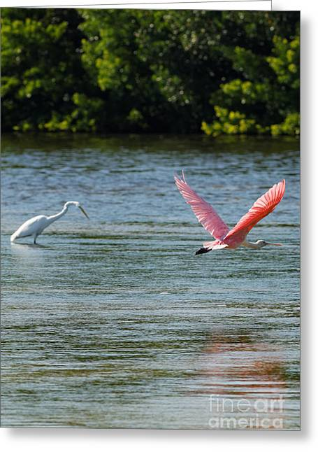 Colorful Flight Of The Spoonbill Greeting Card