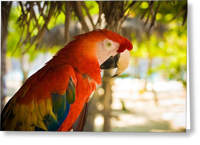 Colorful Macaw Greeting Card by Anthony Doudt