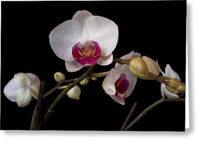 Colorful Moth Orchid Greeting Card