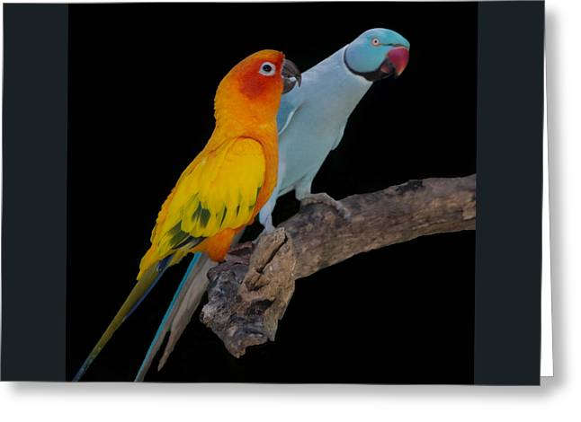 Sun Conure And Ring Neck Parakeet Greeting Card
