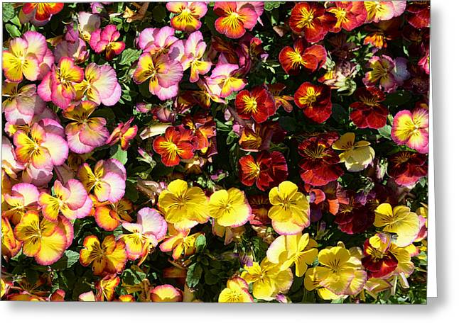 Colorful Pansies Greeting Card