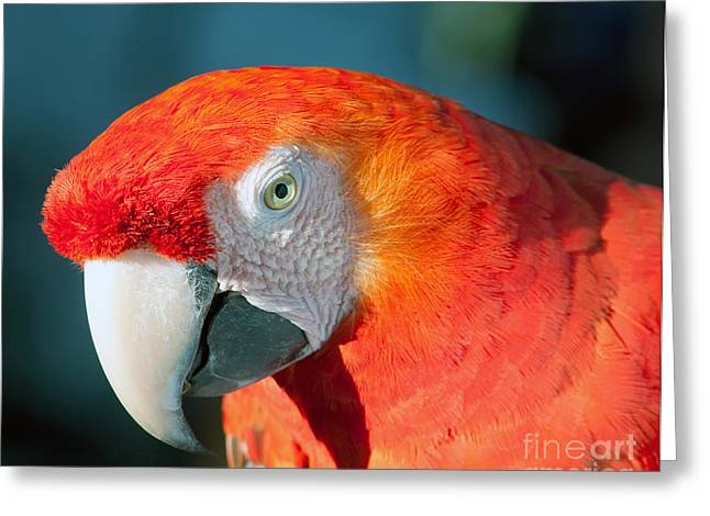 Colorful Parrot Greeting Card by Gunter Nezhoda