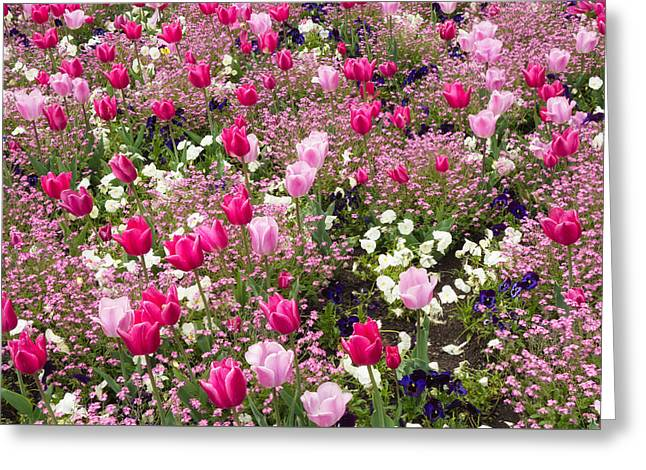Colorful Pink Tulips And Other Flowers In Spring Greeting Card