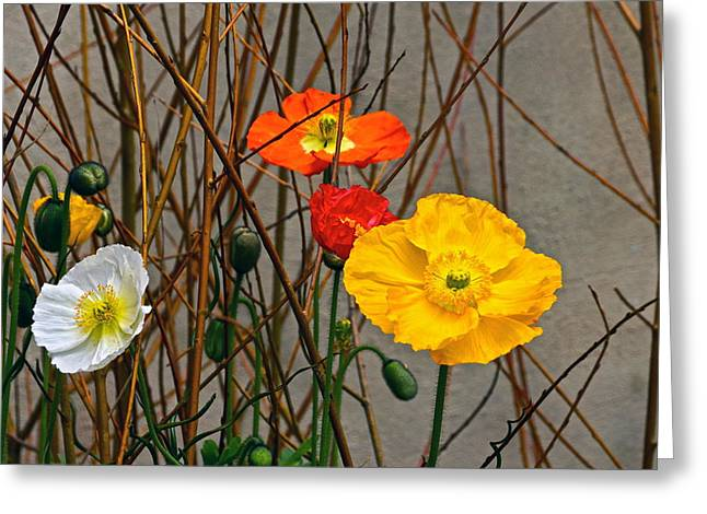 Colorful Poppies And White Willow Stems Greeting Card