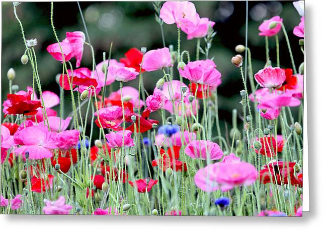 Greeting Card featuring the photograph Colorful Poppies by Peggy Collins
