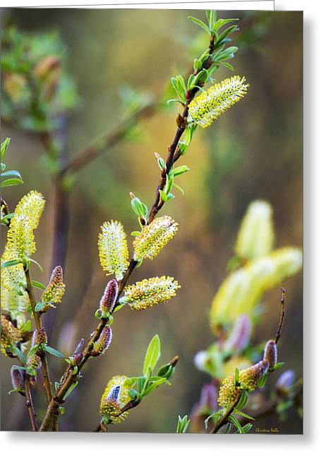 Colorful Spring Pussy Willows Greeting Card by Christina Rollo