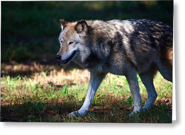 Colorful Wolf Greeting Card by Karol Livote