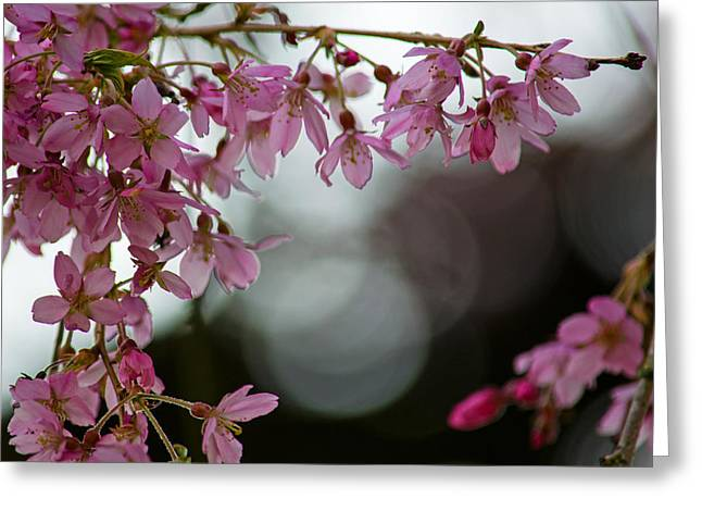 Greeting Card featuring the photograph Colors Of Spring - Cherry Blossoms by Jordan Blackstone