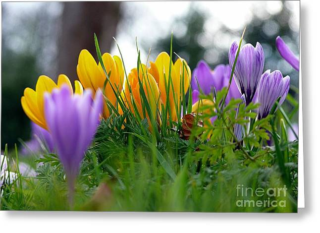 Greeting Card featuring the mixed media Colourful Crocus by Morag Bates
