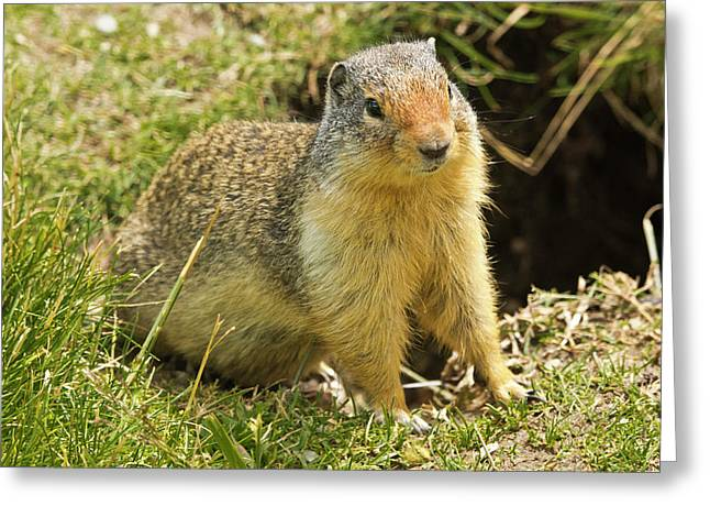 Columbia Ground Squirrel, Rogers Pass Greeting Card by Michel Hersen