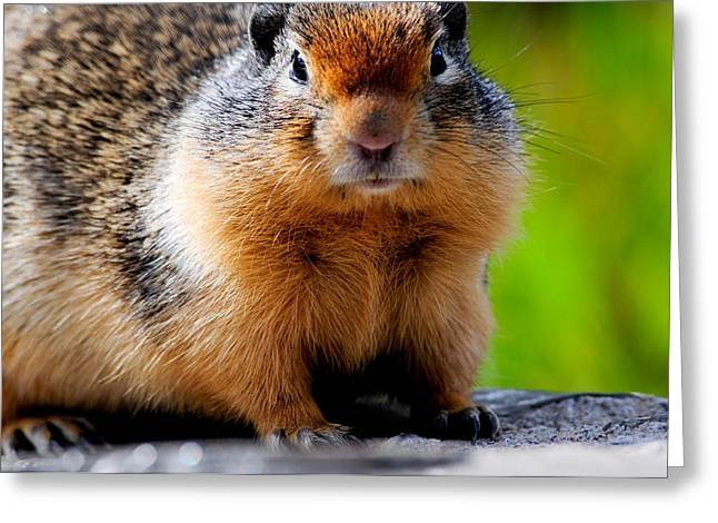 Columbian Ground Squirrel Greeting Card