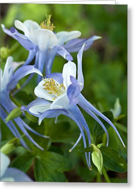 Columbine-2 Greeting Card