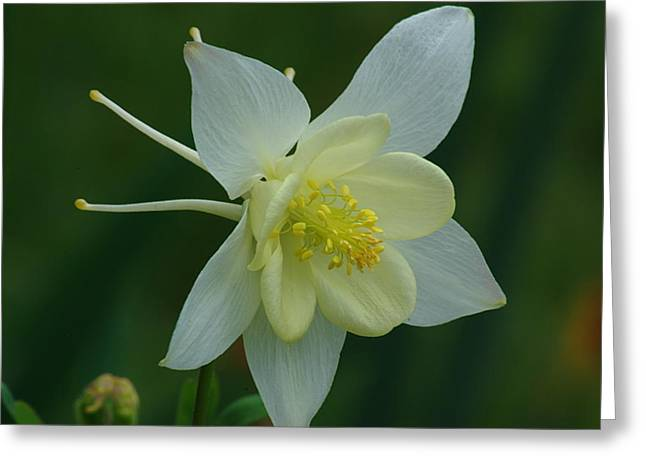 Columbine 2 Greeting Card