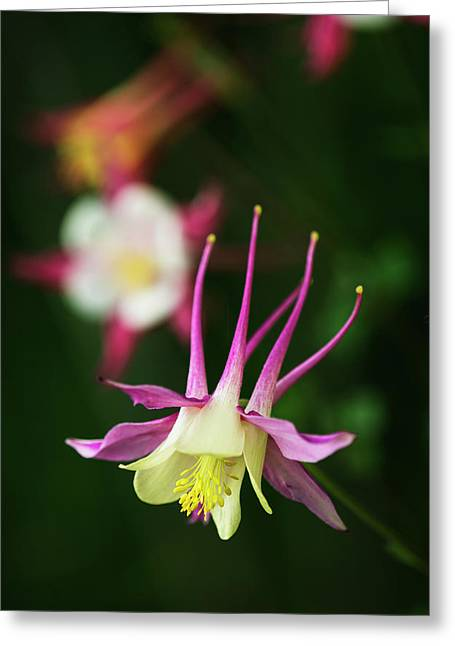 Columbine  Aquilegia  Blooms Greeting Card by Robert L. Potts