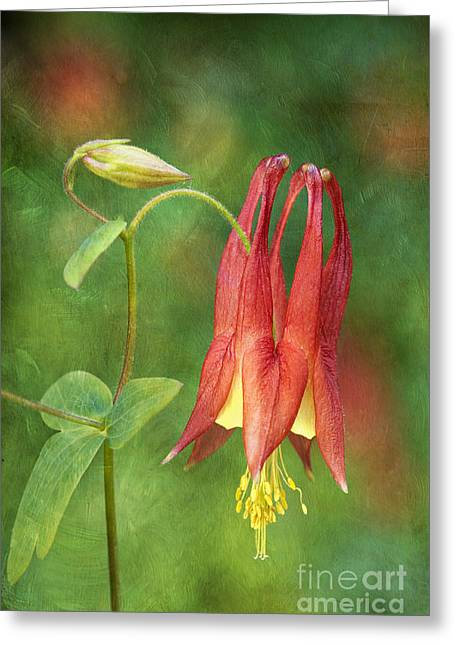 Columbine - D008453-a Greeting Card by Daniel Dempster