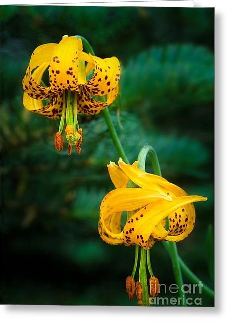 Columbine Lilies Greeting Card by Inge Johnsson