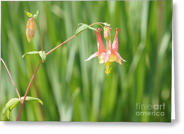 Columbine With Flower And Buds Greeting Card