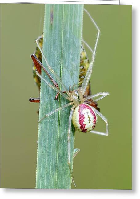 Comb Footed Spider Greeting Card by Heath Mcdonald