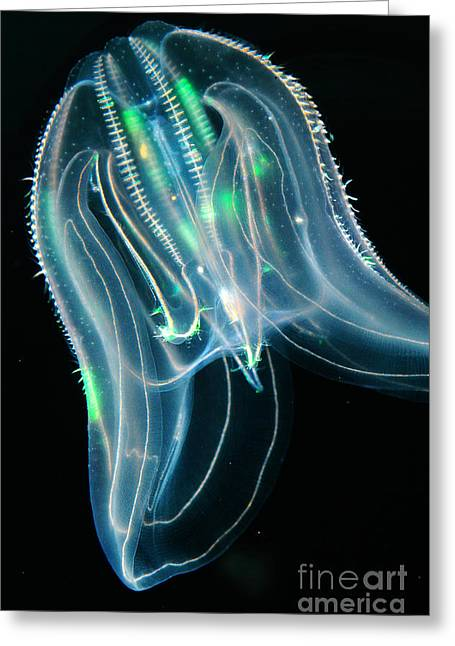 Comb Jelly Greeting Card by Gregory G. Dimijian