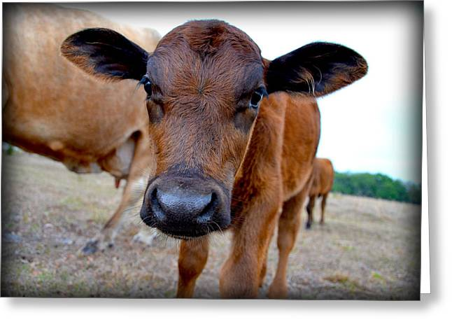 Greeting Card featuring the photograph Come Close For A Cow Kiss by Amanda Vouglas