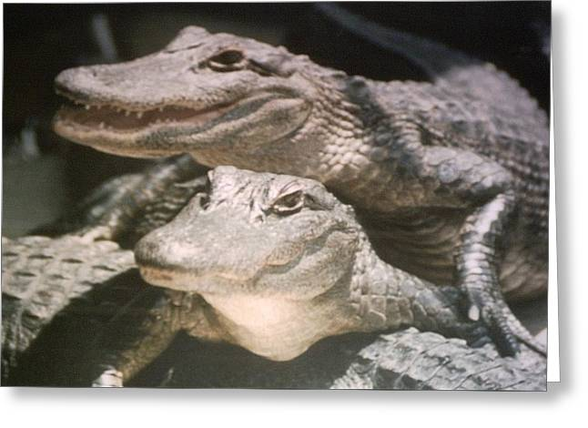 Greeting Card featuring the photograph Florida Alligators Come Closer by Belinda Lee