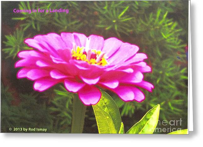 Coming In For A Landing   Warm Pink Greeting Card by Rod Ismay