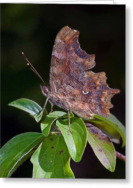 Comma Butterfly Catalonia Spain Greeting Card