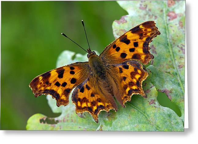 Comma Butterfly France Greeting Card by Frans Hodzelmans