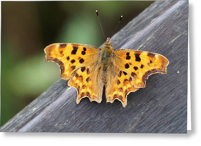 Greeting Card featuring the photograph Comma Butterfly by Paul Gulliver