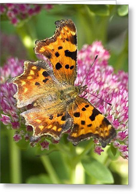 Comma Butterfly Greeting Card by Richard Thomas