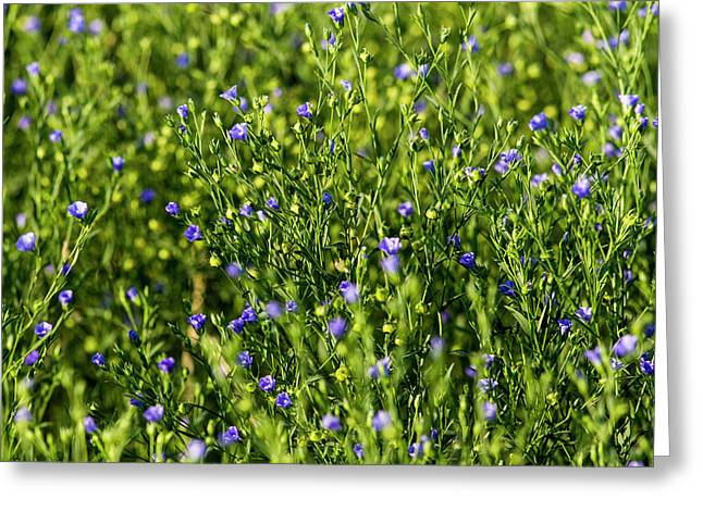 Commercial Flax Field Near Mott, North Greeting Card