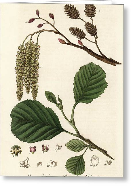 Common Alder Tree Greeting Card