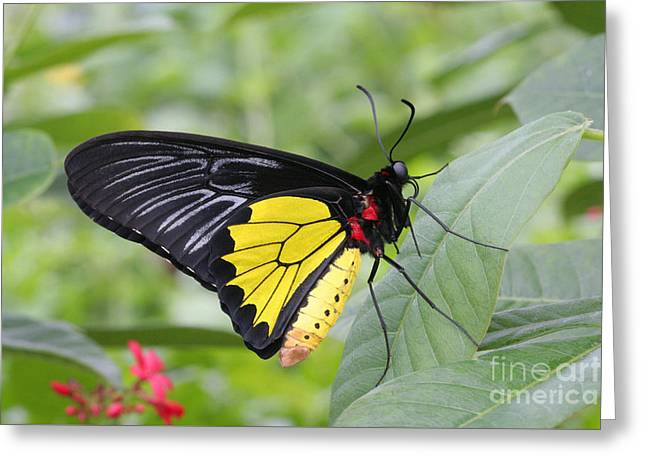 Greeting Card featuring the photograph Common Birdwing Butterfly by Judy Whitton