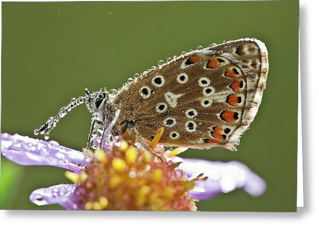 Common Blue Butterfly Covered In Dew Greeting Card by Bob Gibbons